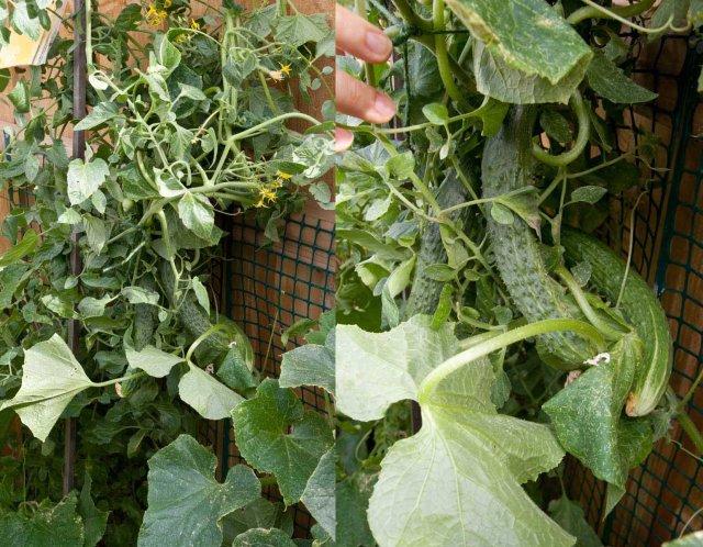 cucumber 11